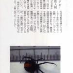 舞鶴公園でセアカコケグモ被害発生!